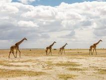 αφρικανική giraffes σαβάνα Στοκ φωτογραφίες με δικαίωμα ελεύθερης χρήσης