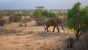 Αφρικανικοί άγριοι περίπατοι ελεφάντων μέσω της ερήμου με την κόκκινη γη μεταξύ των θάμνων φιλμ μικρού μήκους