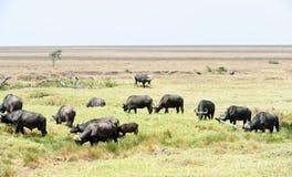 Αφρικανικοί βούβαλοι στην Τανζανία στοκ φωτογραφία