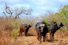 Αφρικανικοί βούβαλοι ή βούβαλοι ακρωτηρίων (Syncerus caffer) Στοκ εικόνες με δικαίωμα ελεύθερης χρήσης