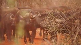 Αφρικανικοί βούβαλοι στην επιφύλαξη παιχνιδιού Madikwe απόθεμα βίντεο