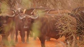 Αφρικανικοί βούβαλοι στην επιφύλαξη παιχνιδιού Madikwe φιλμ μικρού μήκους