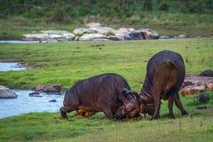 Αφρικανικοί βούβαλοι στο εθνικό πάρκο Kruger, Νότια Αφρική Στοκ φωτογραφίες με δικαίωμα ελεύθερης χρήσης