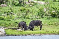 Αφρικανικοί βούβαλοι στο εθνικό πάρκο Kruger, Νότια Αφρική Στοκ Εικόνες
