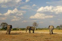 αφρικανικοί ελέφαντες τ&rh Στοκ εικόνα με δικαίωμα ελεύθερης χρήσης