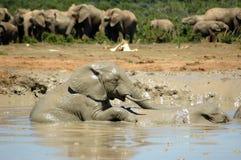 αφρικανικοί ελέφαντες Στοκ εικόνα με δικαίωμα ελεύθερης χρήσης