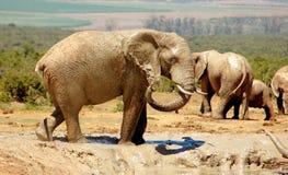 Αφρικανικοί ελέφαντες στοκ φωτογραφίες με δικαίωμα ελεύθερης χρήσης