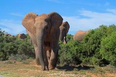 αφρικανικοί ελέφαντες Στοκ Εικόνα