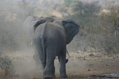 Αφρικανικοί ελέφαντες που παίζουν στη σκόνη Στοκ Φωτογραφία