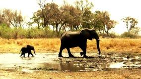 Αφρικανικοί ελέφαντες που φεύγουν waterhole απόθεμα βίντεο