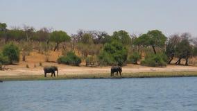 Αφρικανικοί ελέφαντες στον ποταμό την ηλιόλουστη ημέρα απόθεμα βίντεο