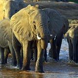 Αφρικανικοί ελέφαντες Στοκ Φωτογραφία