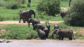 Αφρικανικοί μόσχοι ελεφάντων που περπατούν με το κοπάδι μέσω μιας τρύπας ποτίσματος φιλμ μικρού μήκους