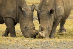 2 αφρικανικοί ρινόκεροι, που τρώνε και που λειτουργούν από κοινού Στοκ Φωτογραφίες