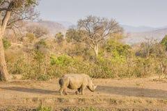 Αφρικανικός άσπρος ρινόκερος, στο πάρκο Kruger, Νότια Αφρική Στοκ Φωτογραφίες