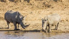 Αφρικανικός άσπρος ρινόκερος, στο πάρκο Kruger, Νότια Αφρική Στοκ εικόνα με δικαίωμα ελεύθερης χρήσης