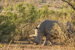 Αφρικανικός άσπρος ρινόκερος, kruger πάρκο Στοκ εικόνα με δικαίωμα ελεύθερης χρήσης