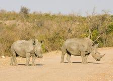 Αφρικανικός άσπρος ρινόκερος, kruger πάρκο Στοκ φωτογραφίες με δικαίωμα ελεύθερης χρήσης