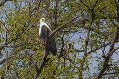 Αφρικανικός αετός ψαριών στο δέντρο Στοκ εικόνες με δικαίωμα ελεύθερης χρήσης