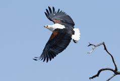 Αφρικανικός αετός ψαριών Στοκ Εικόνα