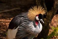 αφρικανικός γερανός που & Στοκ Φωτογραφία