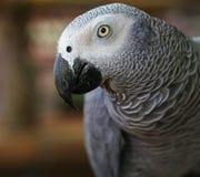 Αφρικανικός γκρίζος παπαγάλος Στοκ Εικόνα