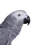 Αφρικανικός γκρίζος παπαγάλος στοκ εικόνες