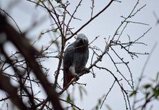 αφρικανικός γκρίζος παπα στοκ φωτογραφία με δικαίωμα ελεύθερης χρήσης