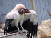 Αφρικανικός γύπας Στοκ φωτογραφία με δικαίωμα ελεύθερης χρήσης