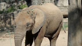 αφρικανικός ελέφαντας θάμνων απόθεμα βίντεο