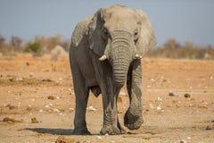 Αφρικανικός ελέφαντας που εξετάζει τη κάμερα Στοκ Εικόνα