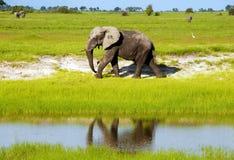 Αφρικανικός ελέφαντας στην άγρια σαβάνα (Μποτσουάνα) Στοκ Εικόνες