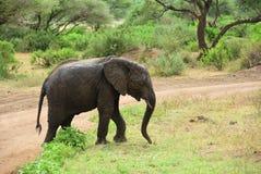 Αφρικανικός ελέφαντας στο εθνικό πάρκο Τανζανία Manyara λιμνών Στοκ φωτογραφία με δικαίωμα ελεύθερης χρήσης