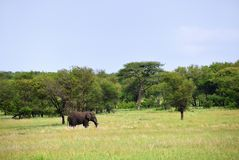 Αφρικανικός ελέφαντας στο εθνικό πάρκο Τανζανία Serengeti Στοκ φωτογραφίες με δικαίωμα ελεύθερης χρήσης