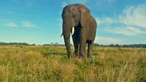 Αφρικανικός ελέφαντας στο λιβάδι απόθεμα βίντεο