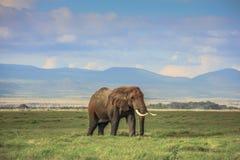 Αφρικανικός ελέφαντας στο masai mara Κένυα Στοκ εικόνες με δικαίωμα ελεύθερης χρήσης