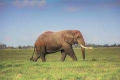 Αφρικανικός ελέφαντας στο masai mara Κένυα Στοκ εικόνα με δικαίωμα ελεύθερης χρήσης