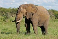 Αφρικανικός ελέφαντας ταύρων Στοκ Φωτογραφία