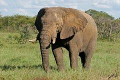 αφρικανικός ελέφαντας ταύρων Στοκ εικόνες με δικαίωμα ελεύθερης χρήσης