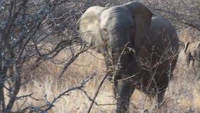 αφρικανικός ελέφαντας απόθεμα βίντεο