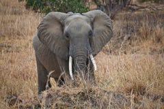 αφρικανικός ελέφαντας στοκ εικόνες με δικαίωμα ελεύθερης χρήσης