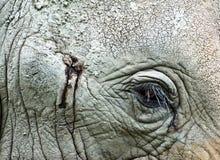 αφρικανικός ελέφαντας 7 Στοκ Φωτογραφίες