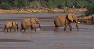 Αφρικανικός ελέφαντας, africana loxodonta, ομάδα που διασχίζει τον ποταμό, πάρκο Samburu στην Κένυα, απόθεμα βίντεο