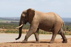 αφρικανικός ελέφαντας musth Στοκ Εικόνες