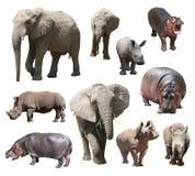 Αφρικανικός ελέφαντας, άσπροι ρινόκερος και hippo στο άσπρο υπόβαθρο Στοκ Εικόνα