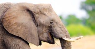 Αφρικανικός ελέφαντας. Εθνικό πάρκο Kruger, Νότια Αφρική Στοκ Φωτογραφίες