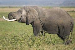 αφρικανικός ελέφαντας θάμνων Στοκ φωτογραφία με δικαίωμα ελεύθερης χρήσης