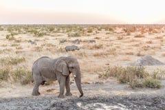 Αφρικανικός ελέφαντας, μαύρος ρινόκερος, με ραβδώσεις Burchells στο ηλιοβασίλεμα Στοκ φωτογραφίες με δικαίωμα ελεύθερης χρήσης