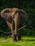 Αφρικανικός ελέφαντας με τα αυτιά έξω Στοκ Εικόνα