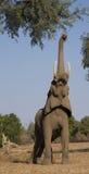 Αφρικανικός ελέφαντας με τον κορμό επάνω στοκ εικόνες